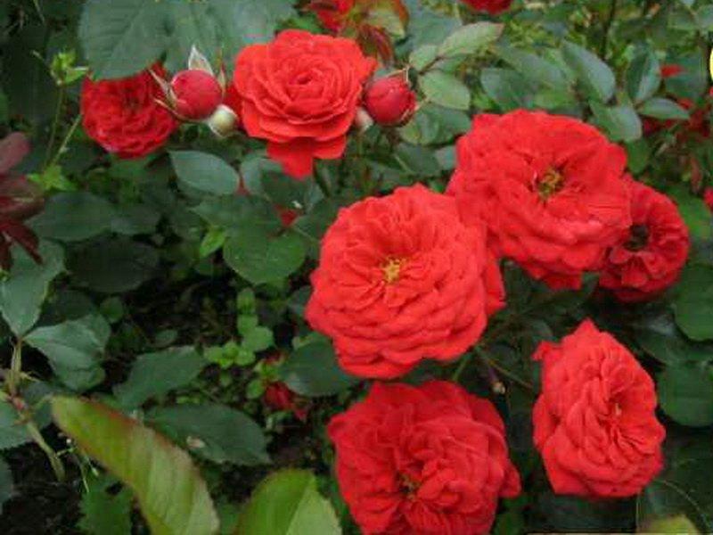 Цветы , бархатисто-красного цвета (фото)