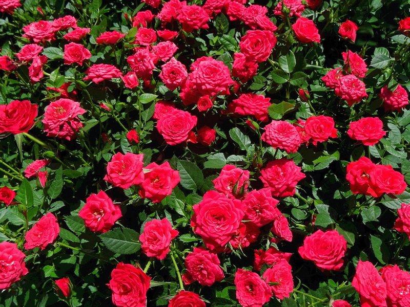 Розы миниатюрные «Гранат» на фото