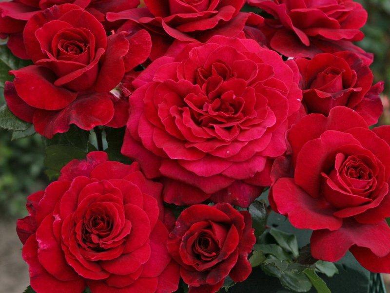 Цветки малиново-красные. (фото)