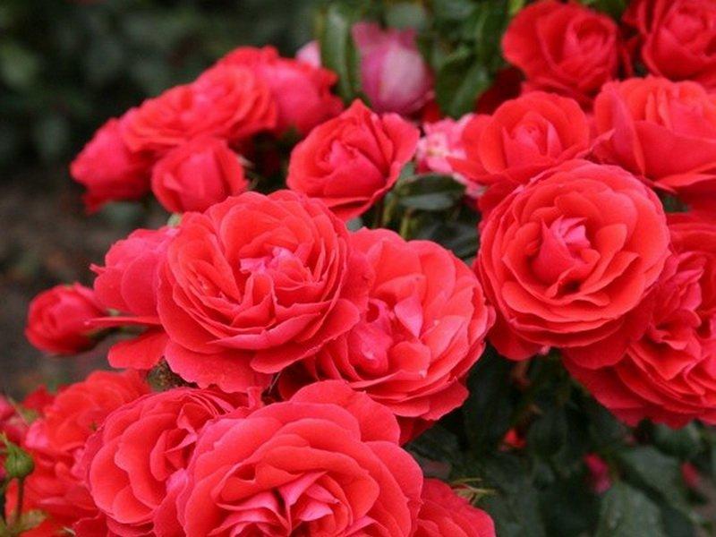 Розы миниатюрные «Бэби Карнавал» на фото