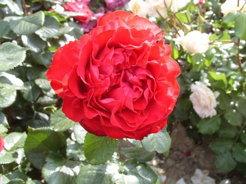 Розово-красные цветки на фото