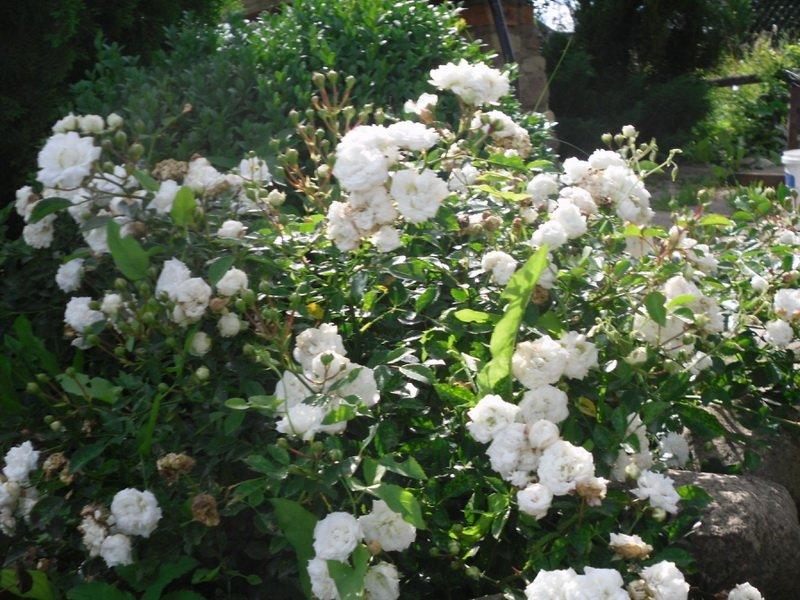 Розы миниатюрные «Пикси» на фото