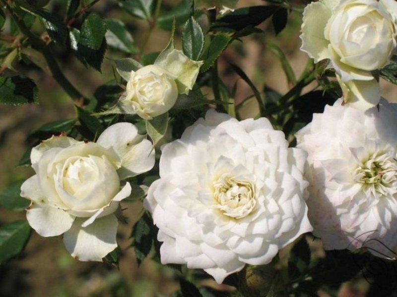 Розы миниатюрные «Вайт Джем» на фото