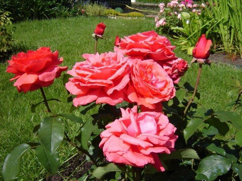 Розы миниатюрные «Элеонор» на фото