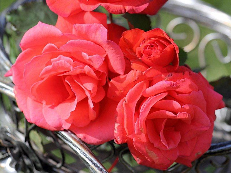Кораллово-розовые цветы (фото).