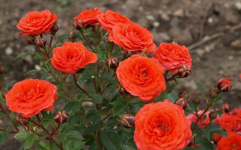 Лучшие сорта миниатюрных роз: фото и описание