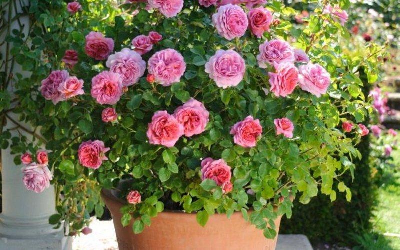 Миниатюрные розы в ландшафтном дизайне (с фото)