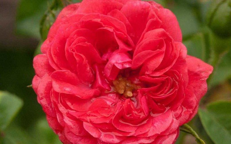 Лучшие сорта миниатюрных роз: фото и описание фото
