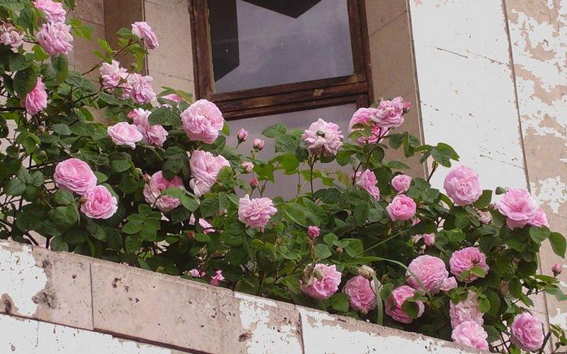 Миниатюрные розы на балконе (фото)