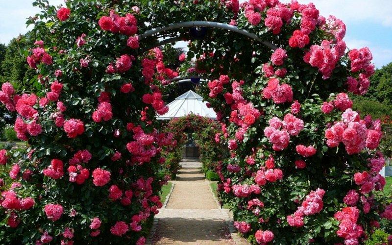 Миниатюрные розы украшают арки (фото)