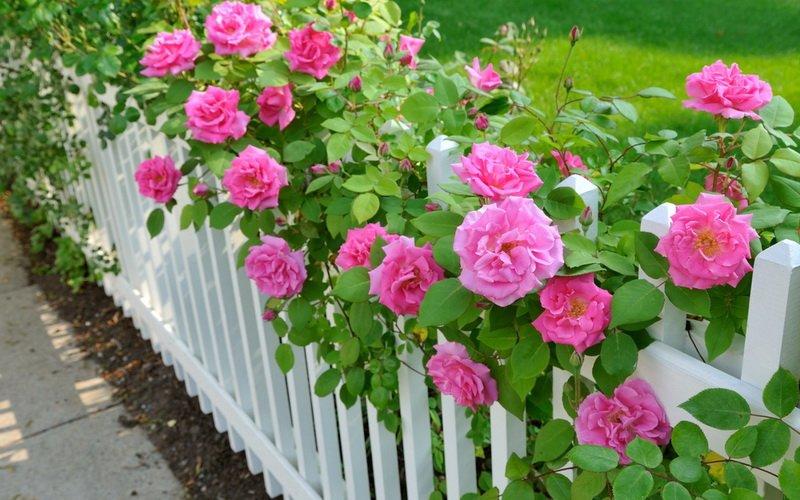 Миниатюрные розы на даче (фото)