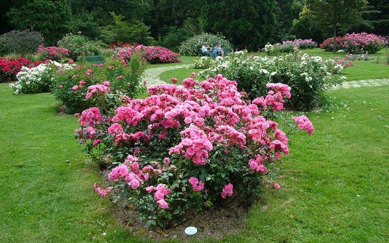 Миниатюрные розы на садовом участке (фото)