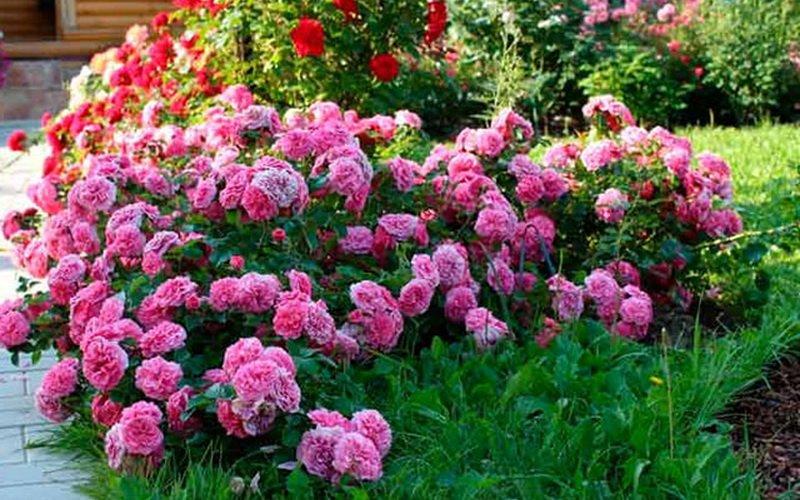 Миниатюрные розы в саду (фото)