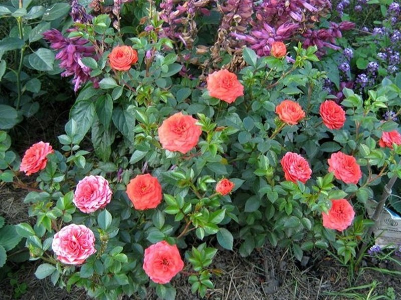 Розы миниатюрные «Оранж Джувел» на фото