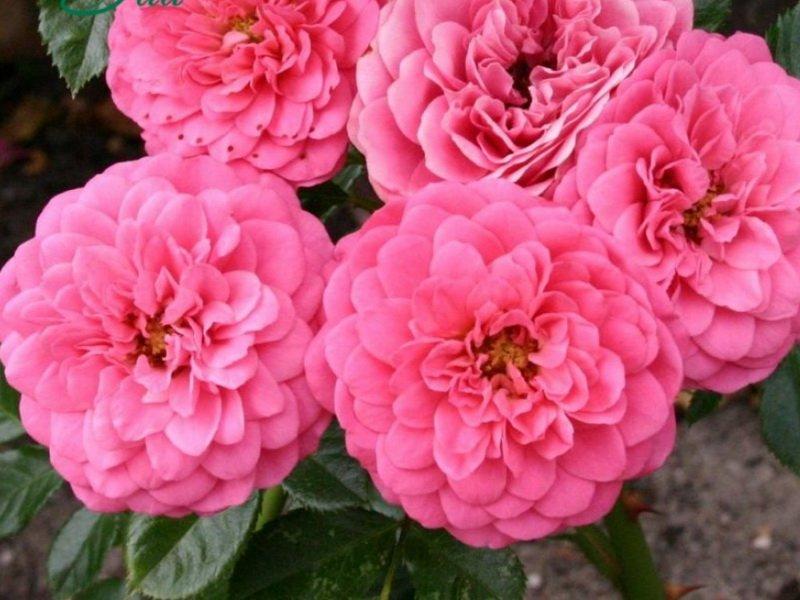 Цветки насыщенной розово-красной окраски, крупные, густомахровые на фото