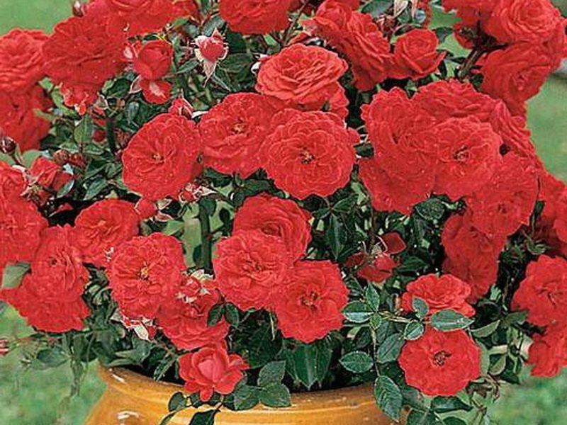 Розы миниатюрные «Литл Баккара» на фото