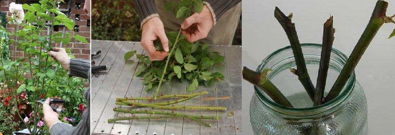 Правильное размножение роз черенками