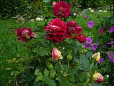 Правильная посадка и уход за розами в открытом грунте