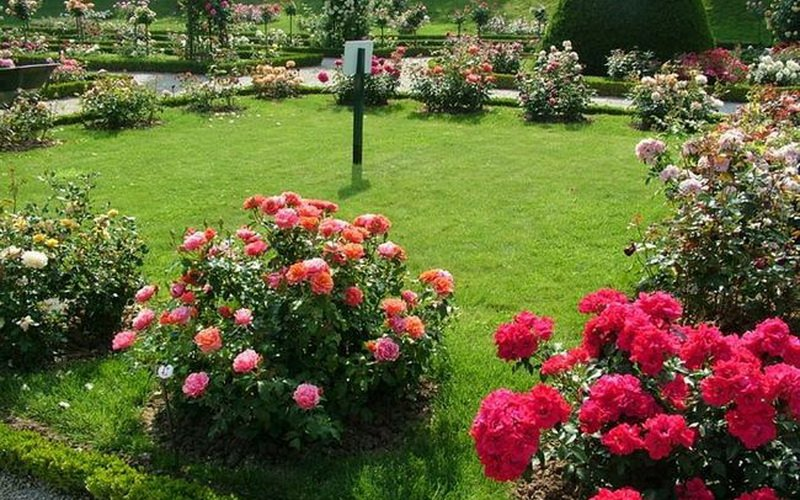 Выбор лучшего места для посадки роз