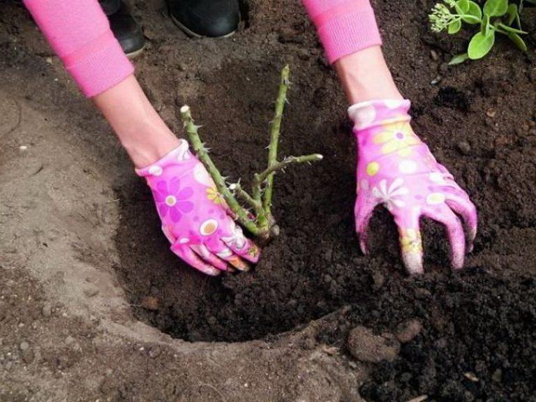 Как правильно сажать розы в грунт в фото 41