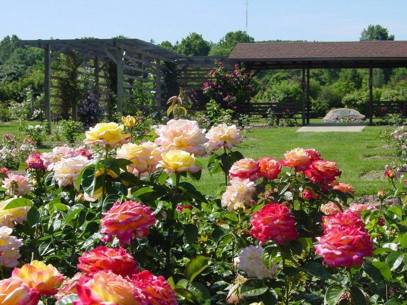 Как выращивать розы: правильная прищипка (с фото и видео)