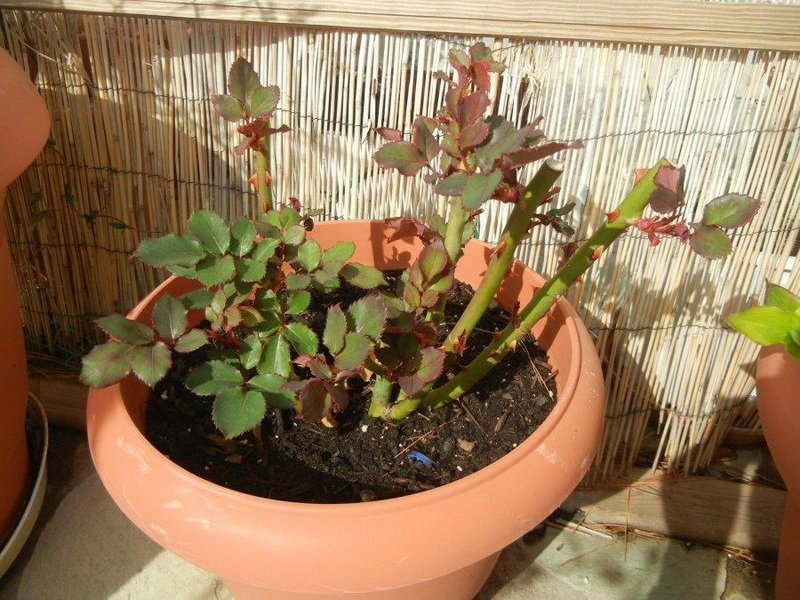 Агротехника выращивания роз на фото