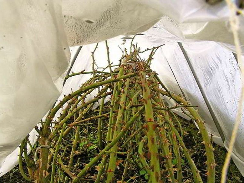 Укрытие под пленку роз на зиму (фото)
