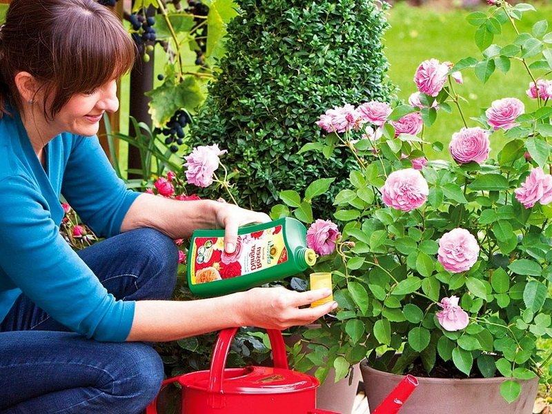 Опрыскивание роз на фото