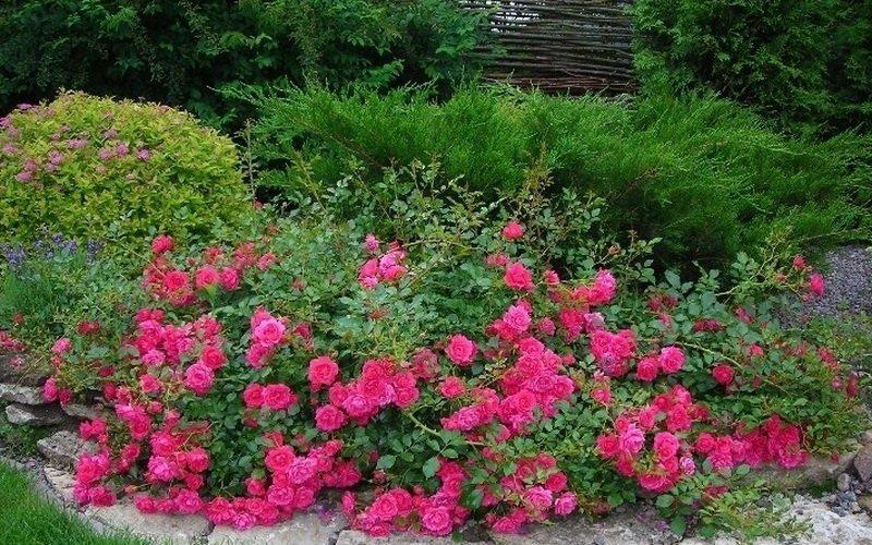 Почвопокровные розы в дизайне сада на фото