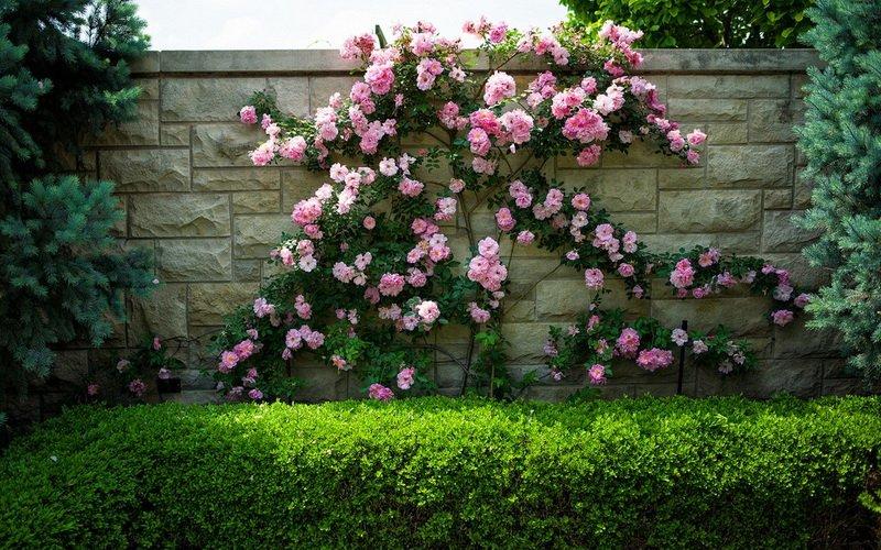 Плетистые розы в дизайне участка на фото