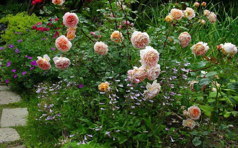 Что посадить рядом с розами: идеи и фото красивого дизайна фото