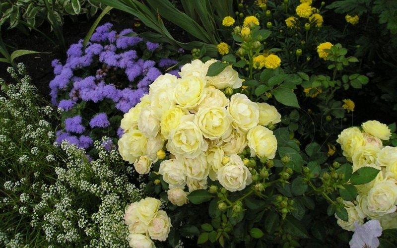 Розы в саду прекрасно сочетаются с астрами на фото