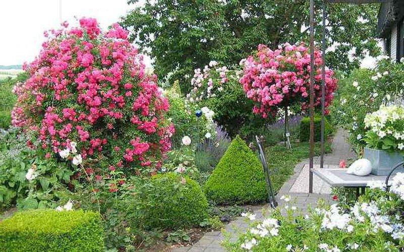 Штамбовые розы в ланшафтном дизайне сада (фото)