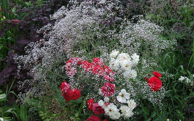 Розы в садовом дизайне гармонично смотрятся с гипсофилой на фото