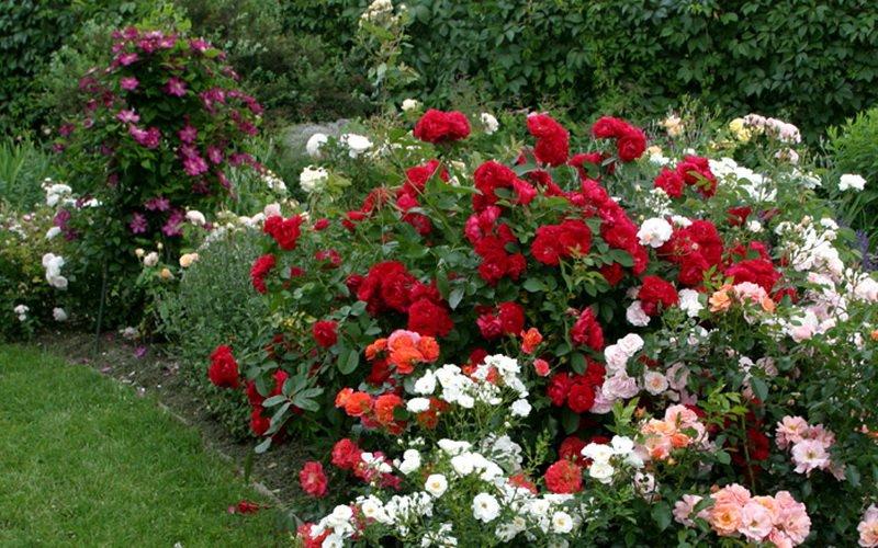 Красные розы плохо сочетаются с другими оттенками красного и розового (фото)