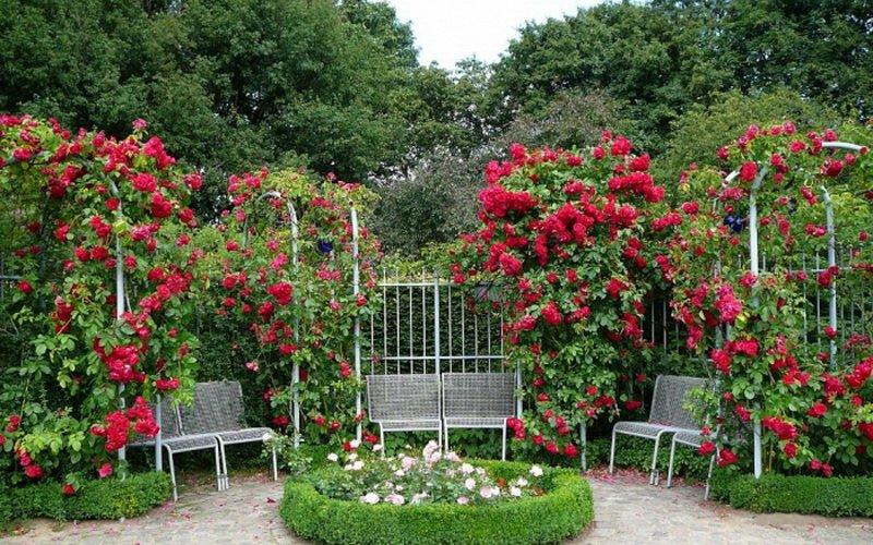 Розы в ландшафтном стиле в виде огромного цветника (фото)