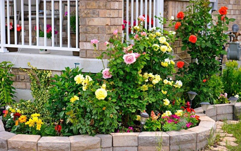 Группы розовых кустов в посадках сада на фото