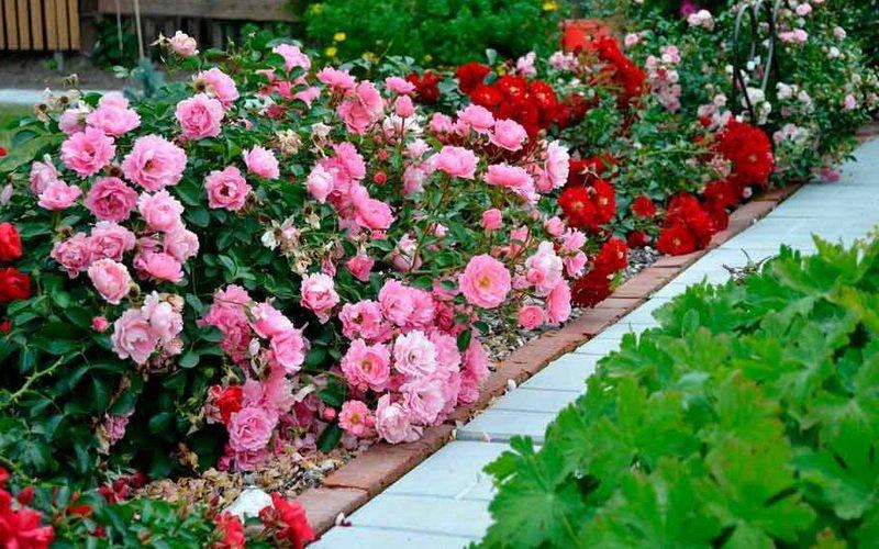 Розы в дизайне вашего сада: оформление клумбы (с фото) фото