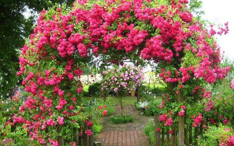 Плетистые розы при оформлении сада на фото