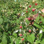 Малина белая - особенности ухода и выращивания