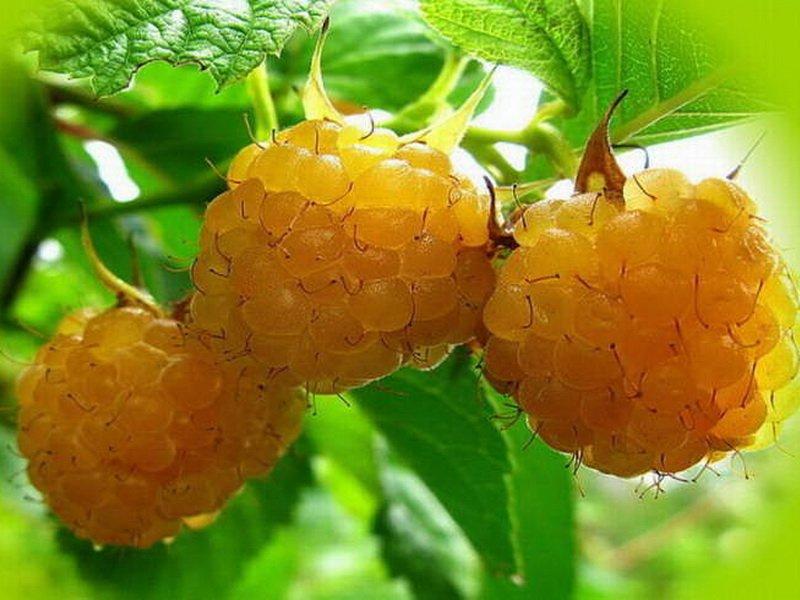Ягода малины Беглянка  на фото