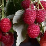 Виды и сорта малины, подробное описание и их характеристики