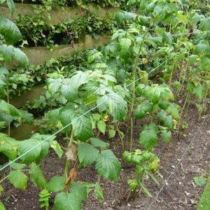 Условия выращивания малины на участке