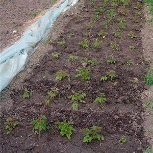 Размножение кустов малины семенами