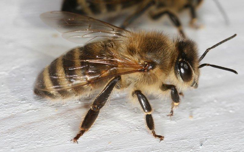 Итальянская порода пчел: фото и описание