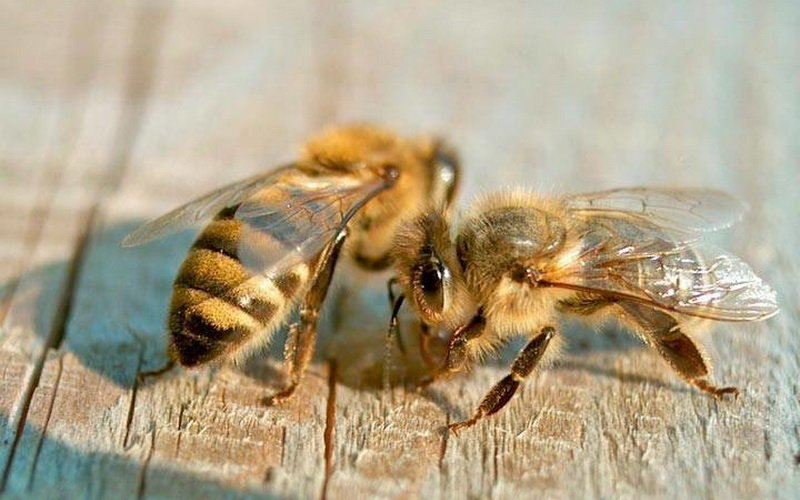 Карпатская порода пчел (карпатка): характеристика и фото с описанием
