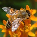 Породы пчел как определить породу пчелы