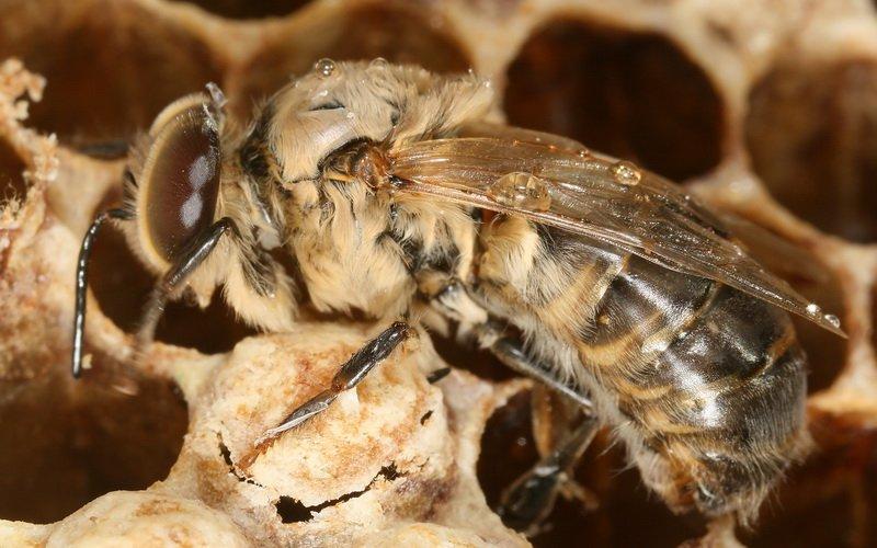 Особенности краинской породы пчел