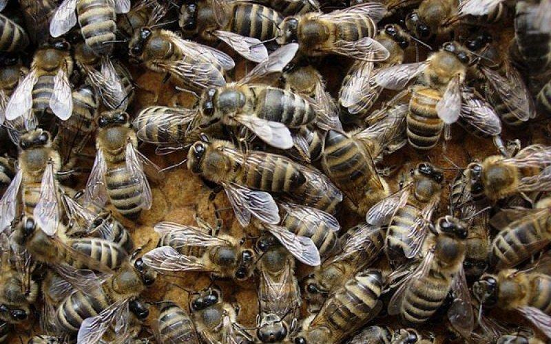 Какие бывают виды кавказской породы пчел: фото и характеристика