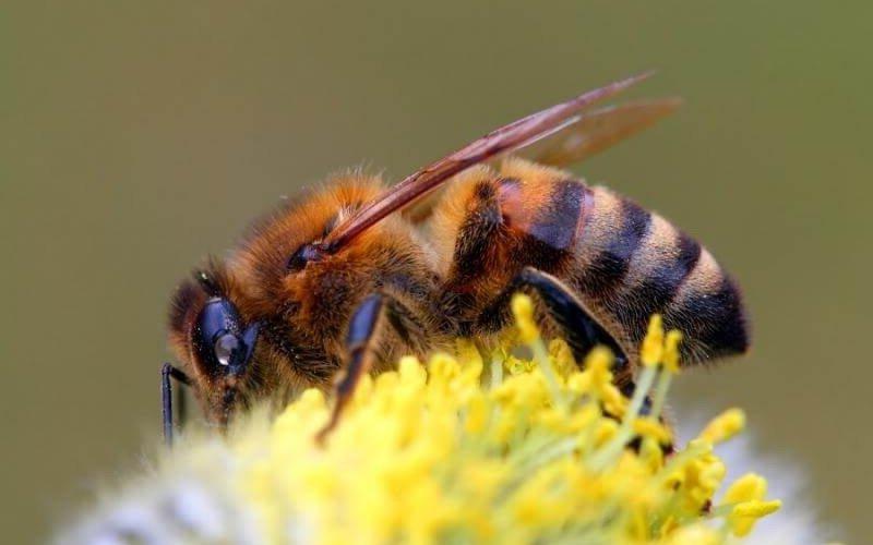 Какие бывают виды кавказской породы пчел: фото и характеристика фото